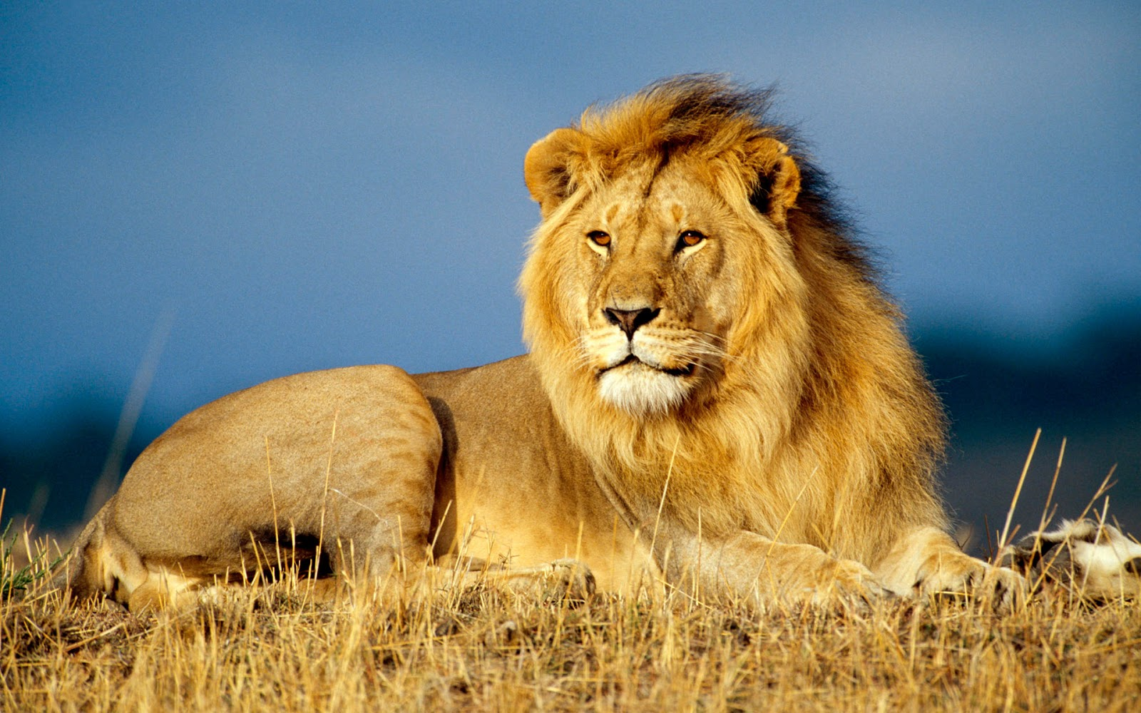 King Lion Sitting in Grass
