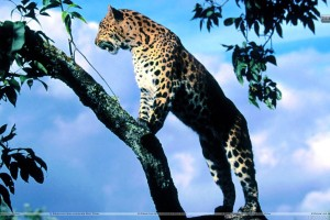 Amur Leopard Scout
