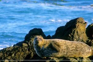 Basking in the Sunshine Harbor Seal