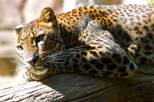 Beautiful-HD-leopard-wallpaper