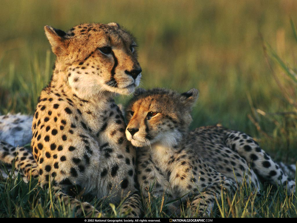 Leopard Couple