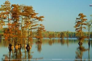 Cypress Trees Bathed In Morning Light Horseshoe Lake Illinois