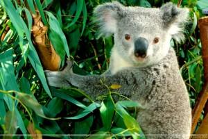 Hanging Out Koala