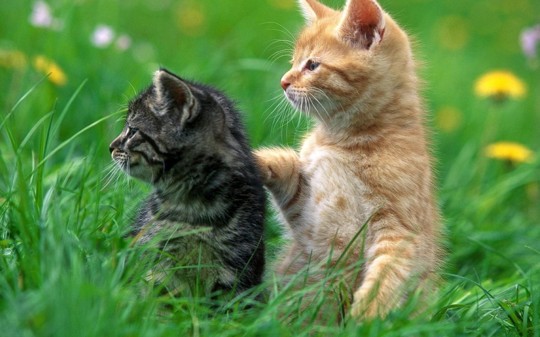 Beautiful Wallpaper High Resolution Cat - High-resolution-best-friends-cat-wallpaper-1440x900  Pictures_6610082.jpg