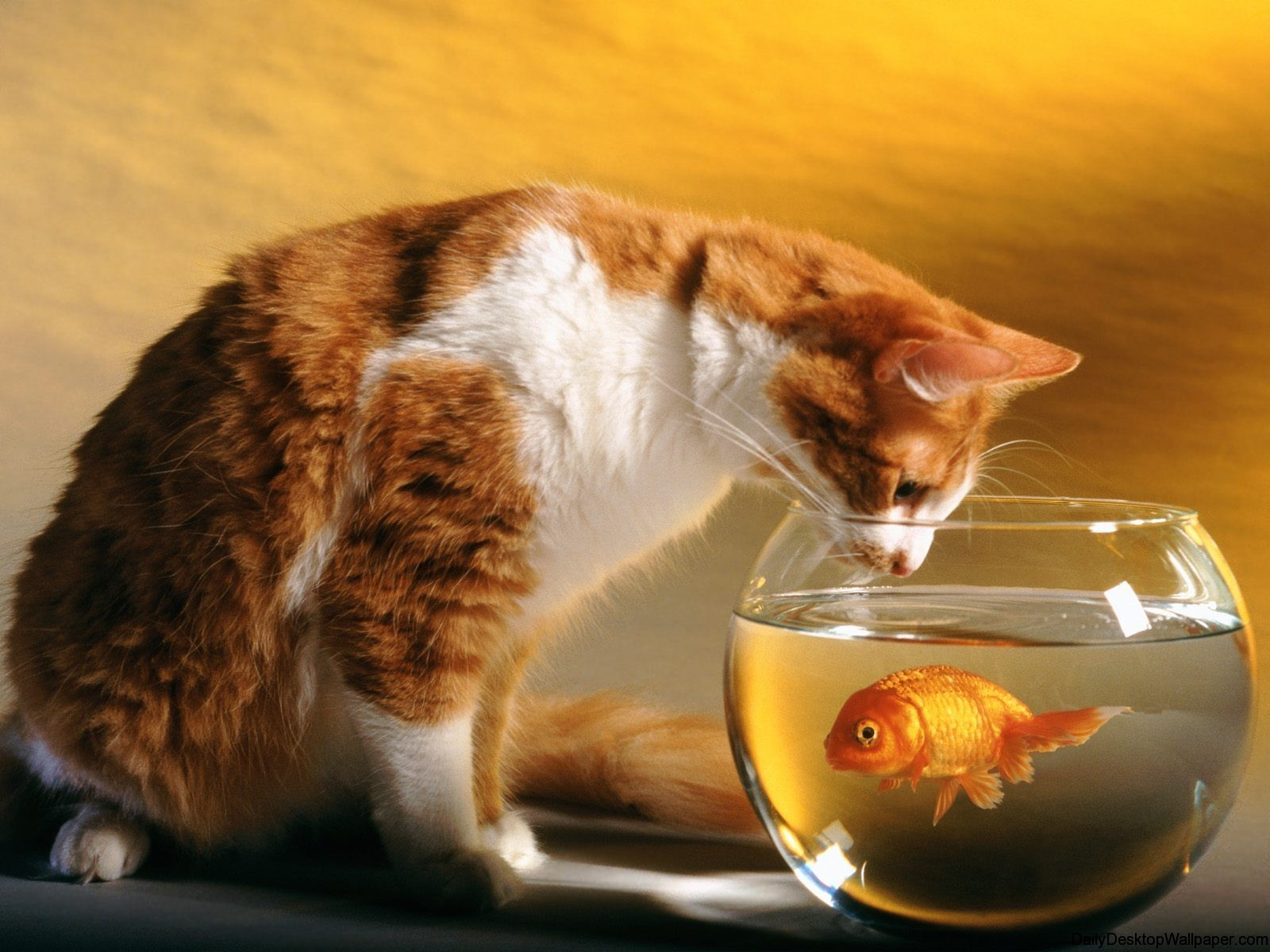 High-resolution-cat-goldfish-wallpaper