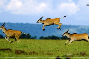 Jumping Contest Cape Eland Kenya Africa