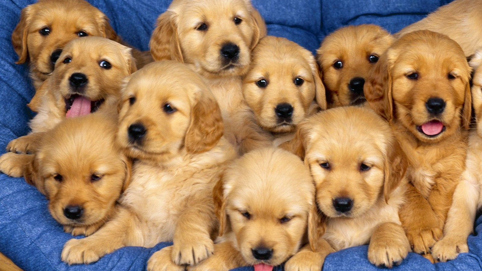 Cute Labrador Puppies HD Wallpaper