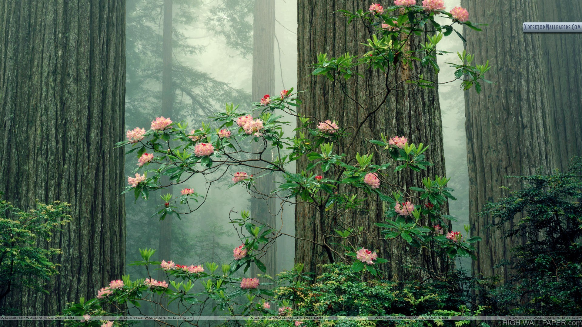 Rhododendrons in Bloom Redwood National Park California