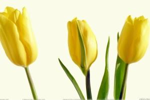 Three Yellow Tulips And White Background