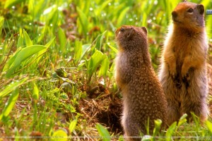 Whats Happening Ground Squirrels