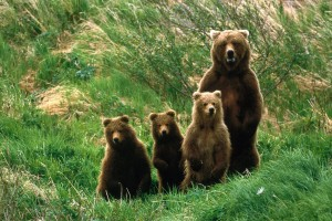 Bear Family - Baby Bears
