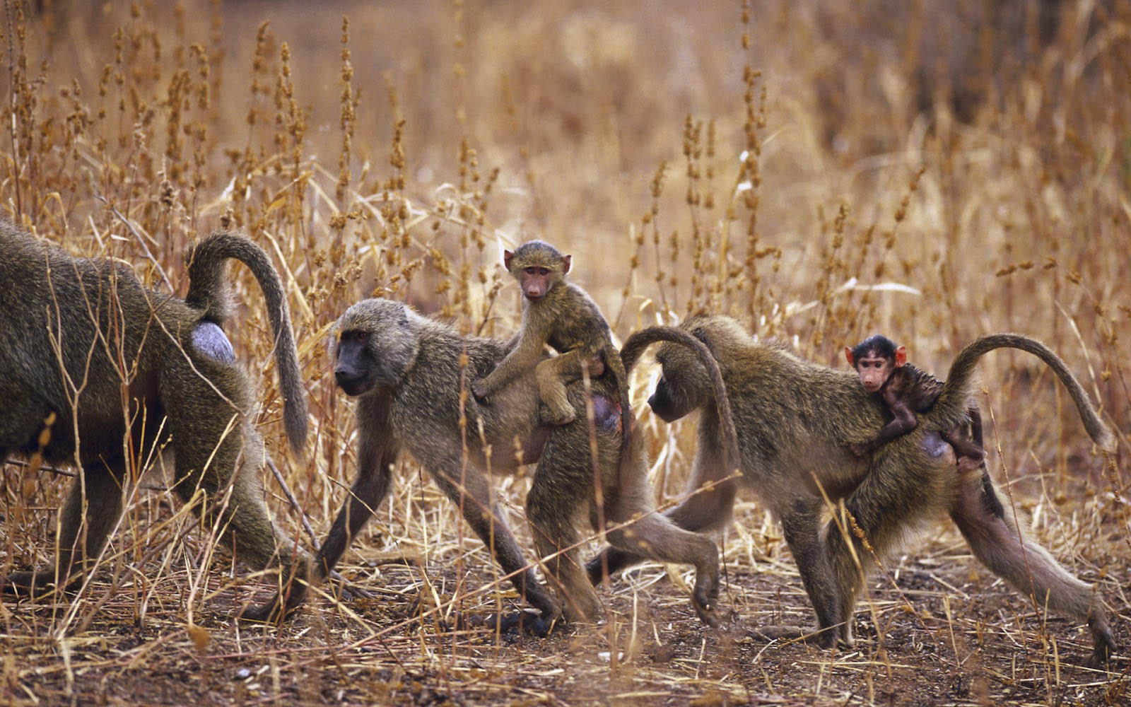 Monkey Family – Group of Monkey