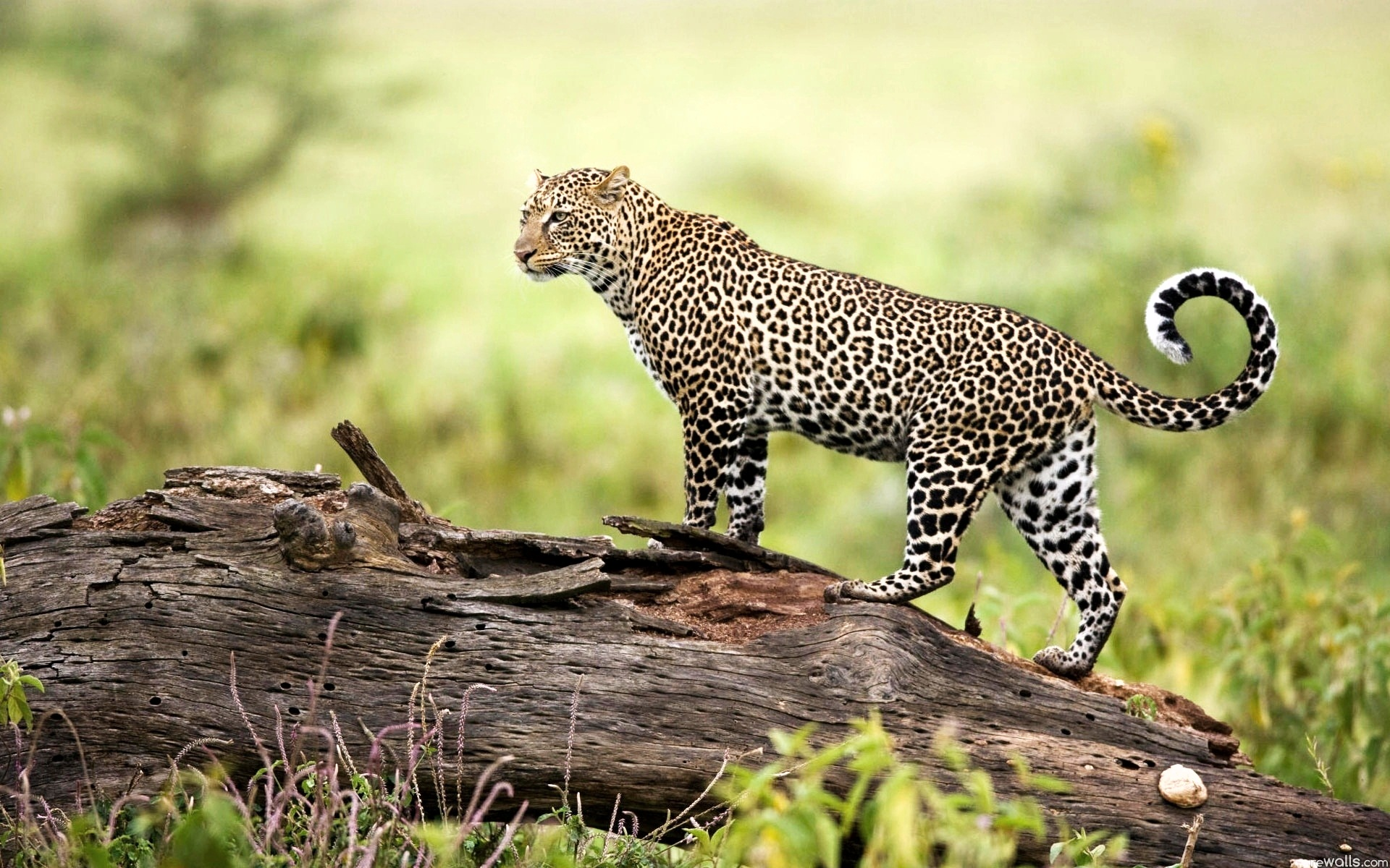 Leopard on Tree