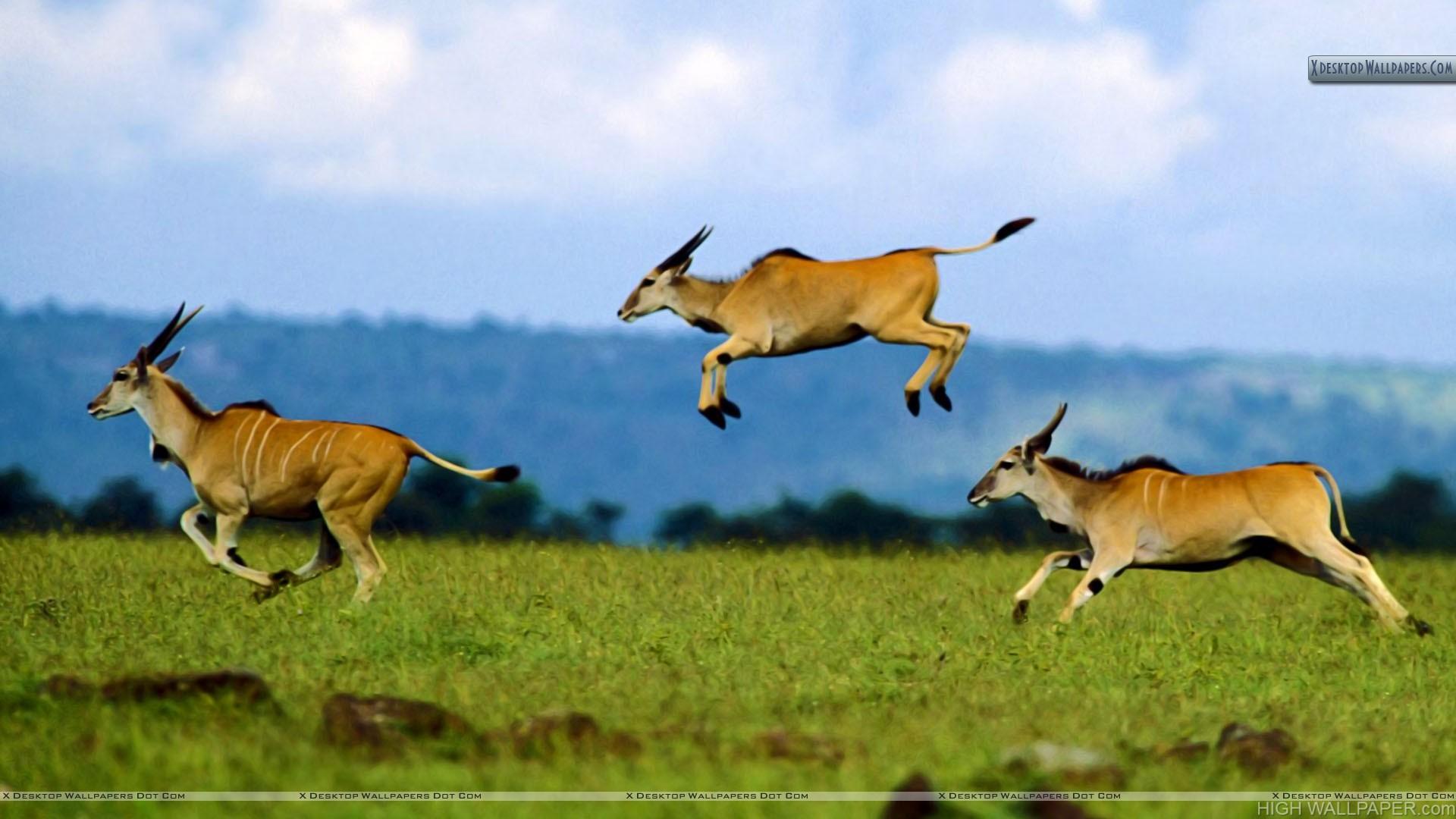 impala animal jumping - HD1600×1200